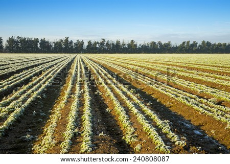 Frosty Ploughed Field in Morning Light with Early Crop beginning to grow. - stock photo