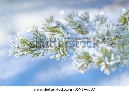 Frosty snow covered spruce twig during winter and sunlight. Sweden - stock photo