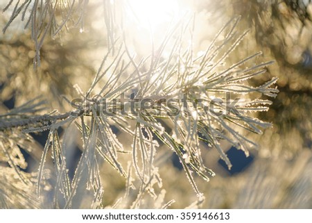 Frosty spruce twig during winter and sunlight. Sweden - stock photo