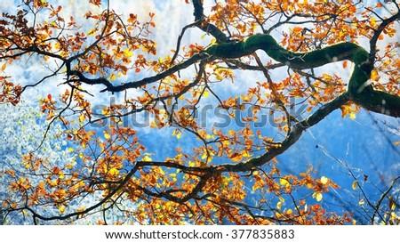 Frozen autumn oak tree branch - stock photo