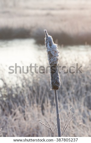 Frozen bulrush -  Bevroren Lisdodde  - stock photo