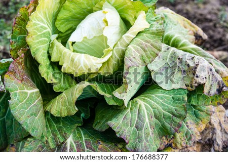 frozen cabbage left on a field in winter - stock photo