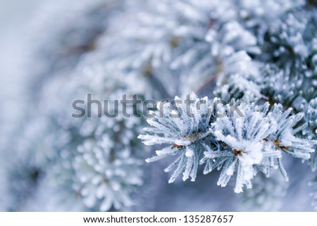 Frozen coniferous branches in white winter - stock photo