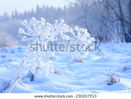 frozen flower covered with hoarfrost, winter solar morning - stock photo
