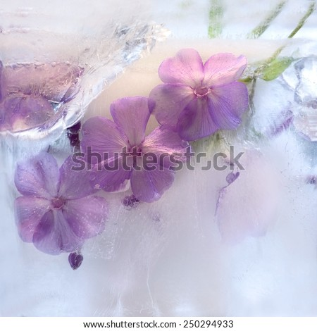 Frozen  fresh beautiful   flower of   phlox  and air bubbles in the ice  cube - stock photo