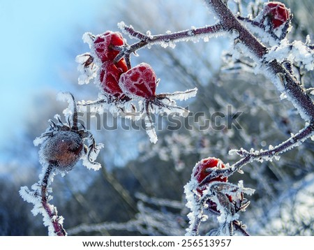 frozen hips - winter - stock photo
