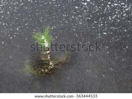frozen lake has locked a little fir tree in ice - stock photo
