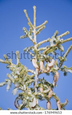 frozen pine cone - stock photo