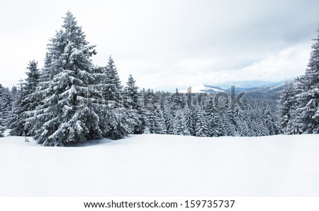 Frozen pine mountain tree in fog  - stock photo