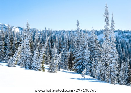 Frozen Pines at Mount Rainier National Park - stock photo
