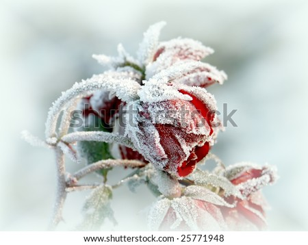 Frozen red roses in the early morning. Photo taken in October. - stock photo