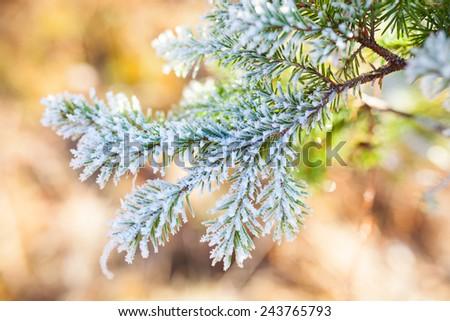 Frozen spruce branch - stock photo