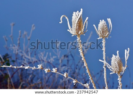 frozen thistles plant  in winter time - stock photo