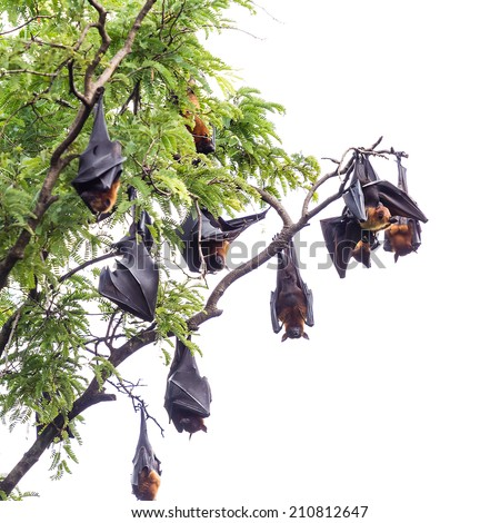 fruit bat on tree - stock photo