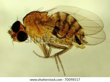 Fruit fly (Drosophila melanogaster). Magnification 40X - stock photo