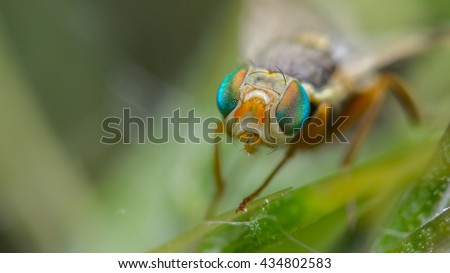 Fruit fly (Urophora stylata)  - stock photo