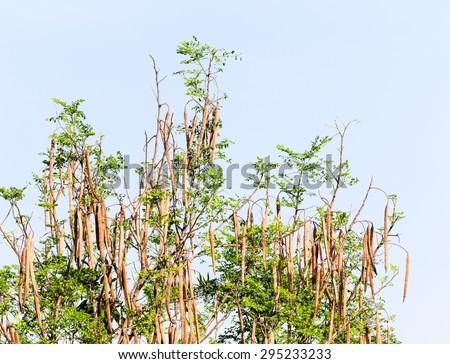 Fruit of Horse radish or Drumstick (Moringa oleifera Lam) - stock photo