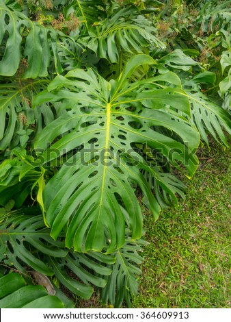 Fruit salad plant (Monstera deliciosa) is a species of flowering plant native to tropical rainforests of southern Mexico, south to Panama. - stock photo