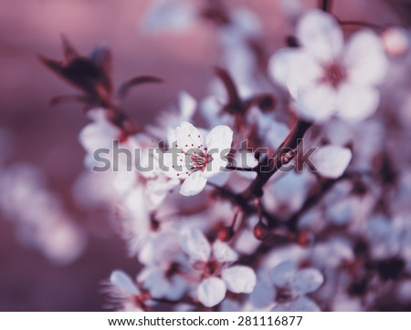 Fruit tree blossoms. Spring beginning background. Toned photo. Selective focus and shallow depth of field. - stock photo