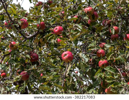 Fruit trees with ripe red apples in a plantation on a sunny summer day. Apple tree with red ripe apples before harvest - stock photo