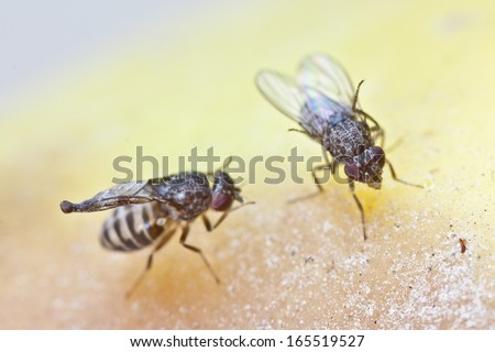fruitfly on the wild nature (Drosophila Melanogaster) - stock photo
