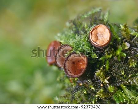Fruiting bodies of the bird's nest fungus, Crucibulum laeve - stock photo