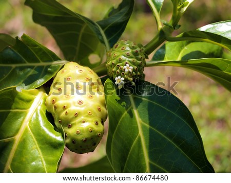 Fruits and flowers of Morinda Citrifolia tropical tree, commonly called Noni, Caribbean, Costa Rica - stock photo