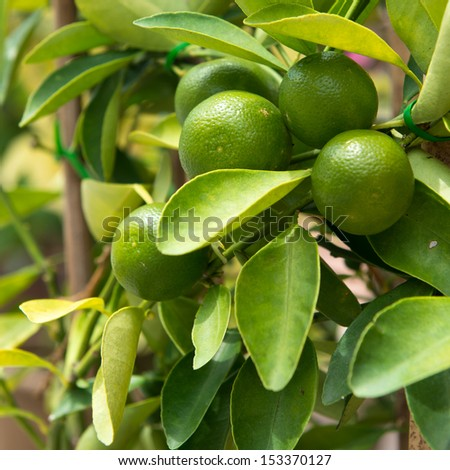 Fruits of lime on tree branch inter leaves - stock photo