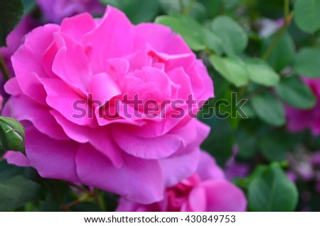 Fuchsia rose with delicate petals and green leaves  - stock photo