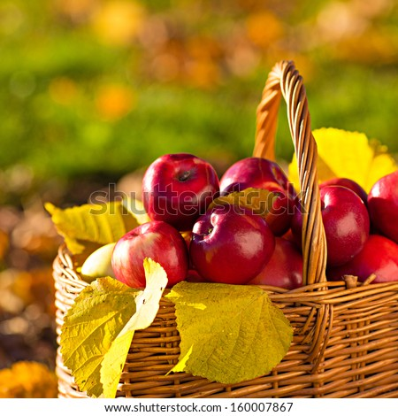 Full basket of red juicy organic apples with yellow leaves on autumn outdoors with soft sun backlit. Good harvest of apples in fall. Thanksgiving holiday concept. - stock photo