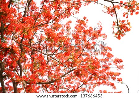 Full bloom of  flame tree flowers or peacock flowers - stock photo