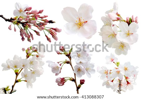 Full bloom sakura flower isolated (Cherry blossom) with clipping path - stock photo