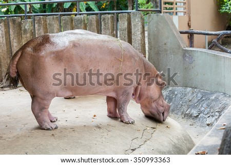 Full body of a hippopotamus - stock photo