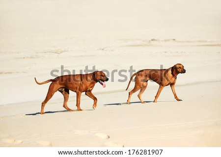 Full body side view of two beautiful purebred male and female Rhodesian Ridgebacks with exhausted and thirsty facial expression walking in the sand. - stock photo