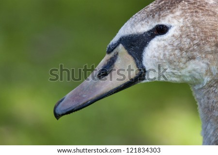 Full face image of a juvenile mute swan. This is a close-up shot that shows the face, beak and part of the neck of the bird. Image is shot against a mottled green background. - stock photo