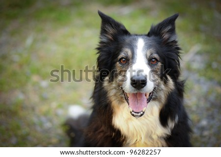 full face image of a tri-colored Border Collie with intense look in the eyes - stock photo