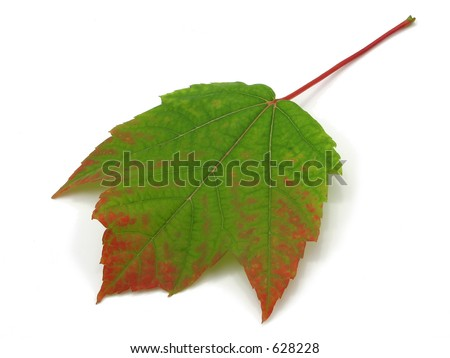 Full frame fall leaf in excellent condition - stock photo