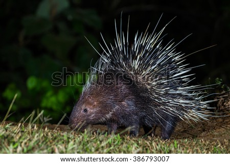 Full frame of close up of nocturnal animals Malayan porcupine(Hystrix brachyura) in real nature at Kaengkracharn national park,Thailand - stock photo