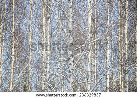 Full Frame of winter Birch Trees - stock photo
