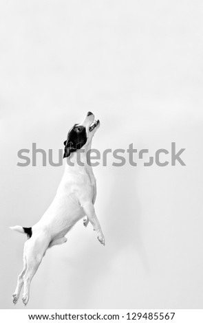 Full-length jack russell terrier in jump.Black and white - stock photo
