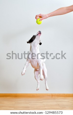Full-length jack russell terrier playing with ball - stock photo