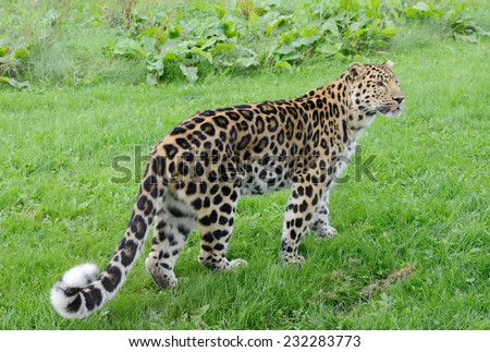 Full length leopard looking alert with spots on fur - stock photo