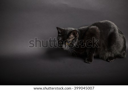 Full Length of Black Domestic Pet Cat with Wide Eyes and Staring to the Side Off Camera While Crouching in Studio with Gray Background and Copy Space - stock photo