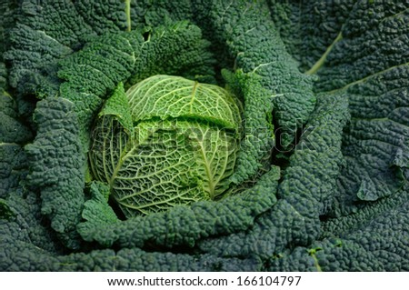 Full organic Curly green Cabbage close up  - stock photo