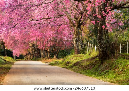 Full pink cherry blossom on spring in the morning at north of Thailand, Place name Khun Wang located at Chiang Mai province. - stock photo