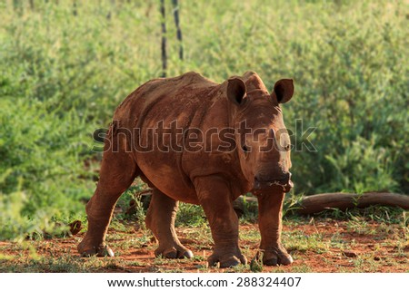 Full portrait of a young white rhino looking at camera - stock photo