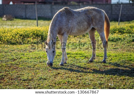 Full scale picture of horse eating grass - stock photo