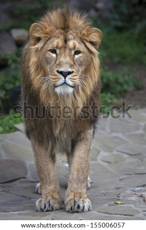 Full-size portrait of a young Asian lion. Vertical image. The King of beasts with splendid mane. Wild beauty of the biggest cat. The most dangerous and mighty predator of the world. - stock photo