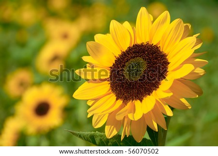 Fully blossomed sunflower with blurred flowers in the background - stock photo