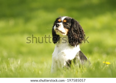 fun cavalier king charles spaniel puppy dog sitting in nature - stock photo